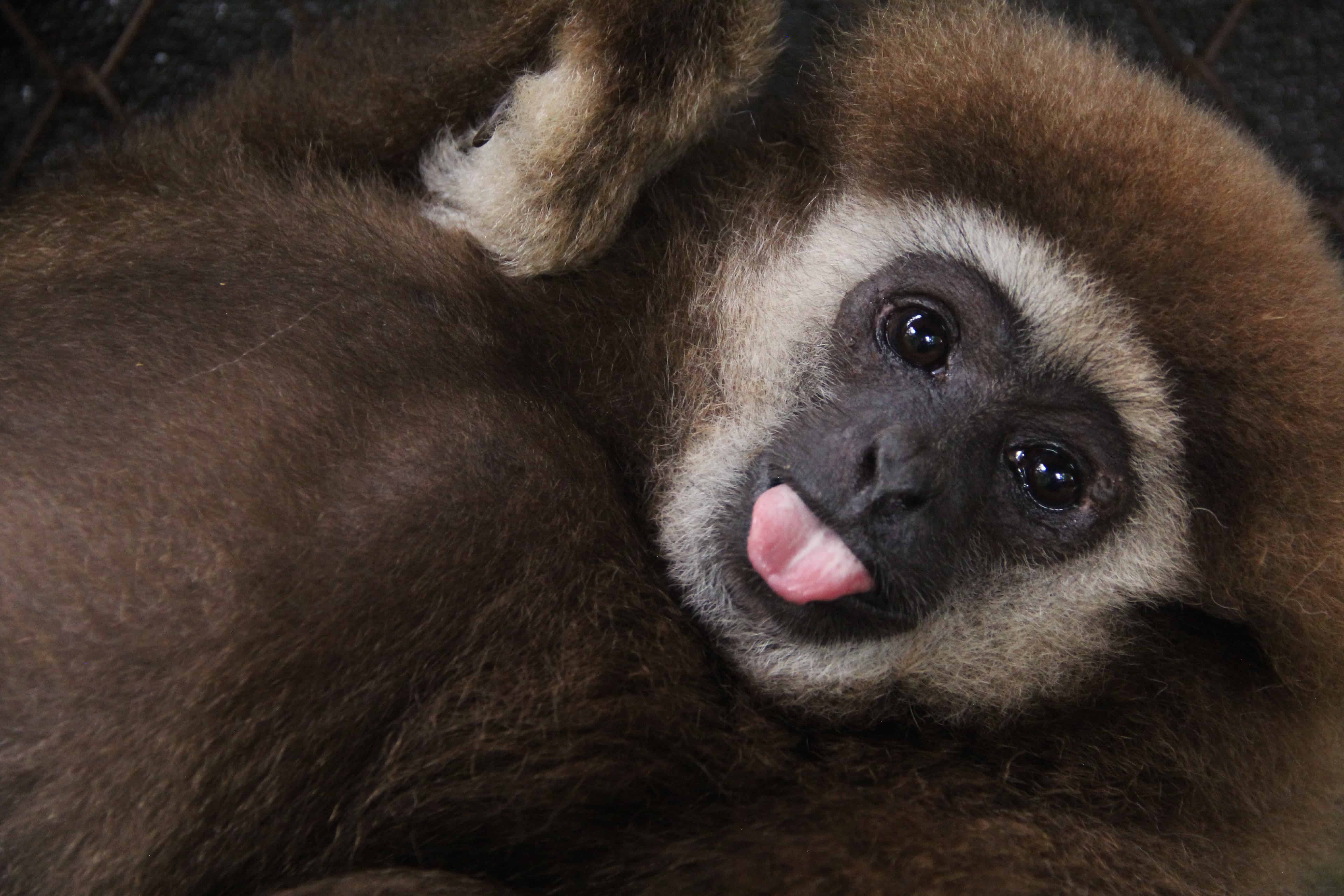 Gibbon Projekt, Thailand