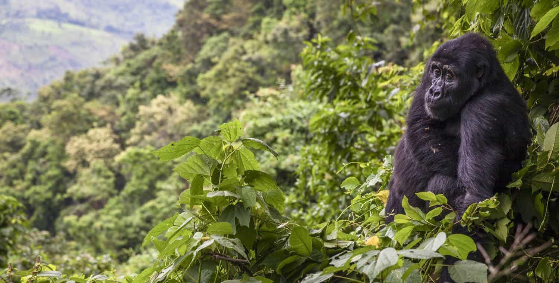 Gorilla Highlands, Uganda