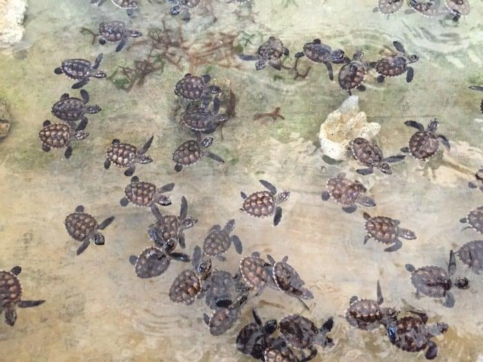 Schildkrötenprojekt, Bali