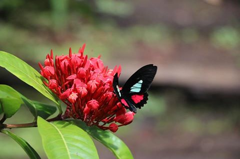 Spirogya, Costa Rica
