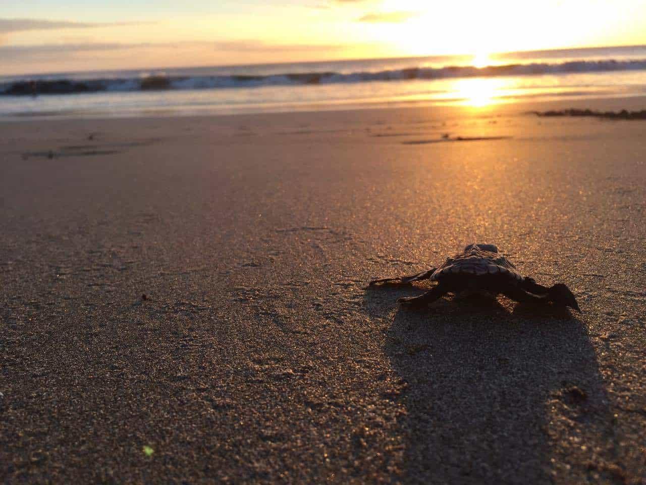 Tanja Herk, Costa Rica, Schildkröte